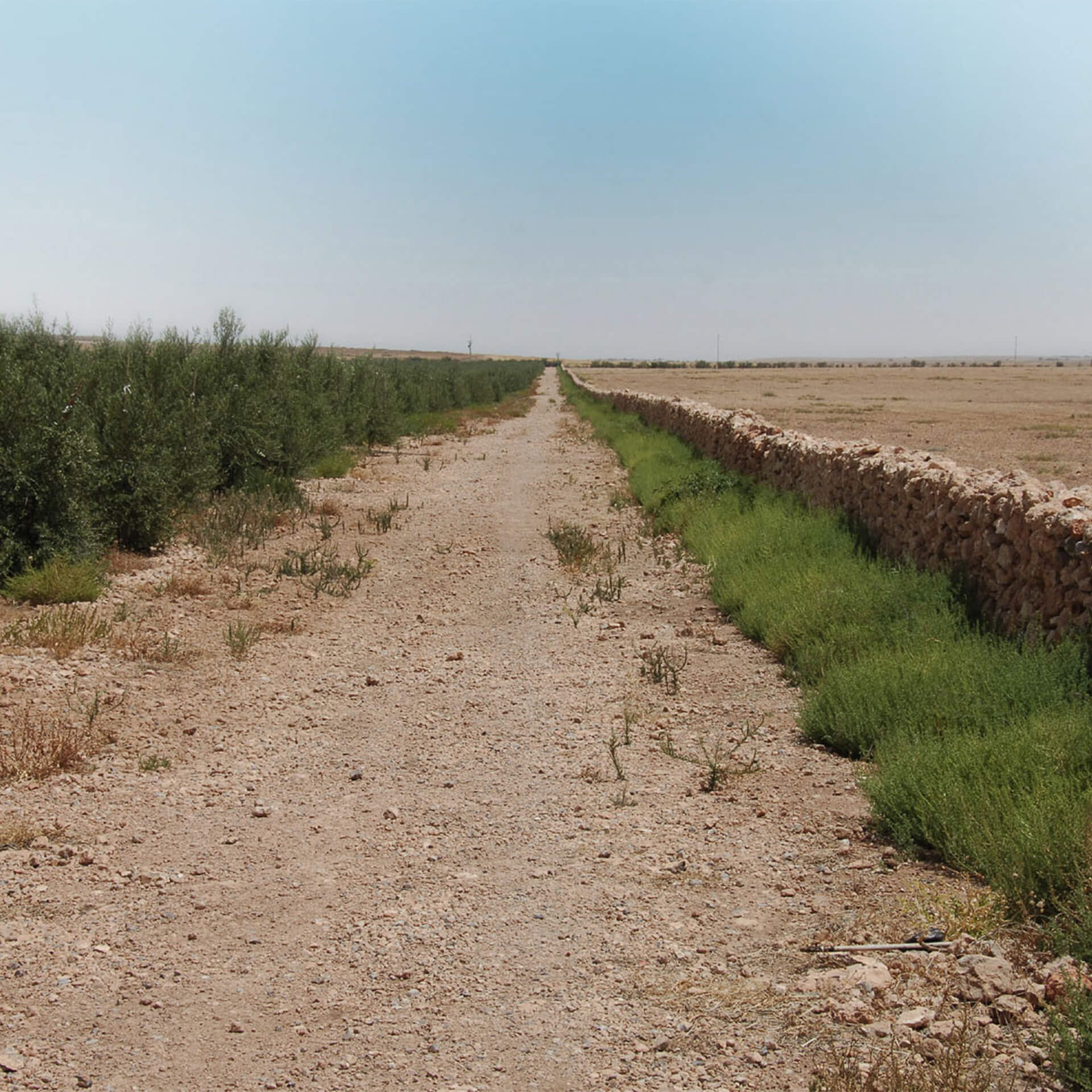 Desert olive trees